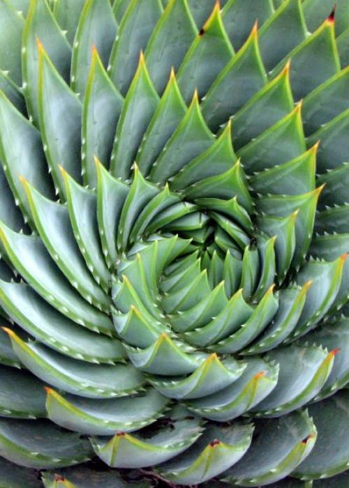 Aloe_polyphylla_spiral