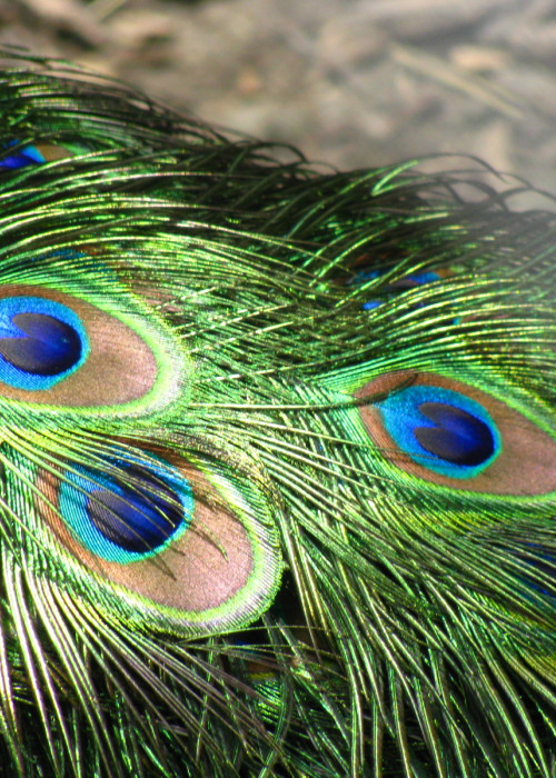 Peacock_feathers_closeup